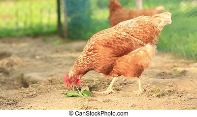 Free Range Hens in a farmyard (Gallus gallus domesticus)
