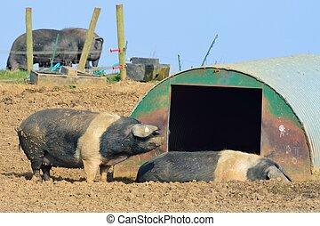 Free range pigs in field