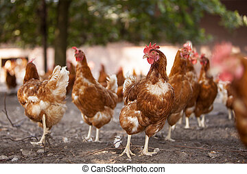 free roaming brown chickens on organic farm in the...
