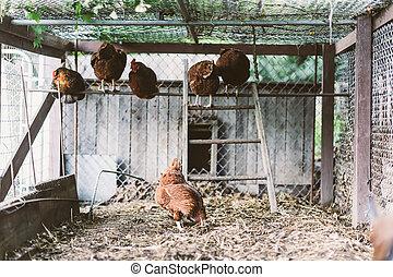 free-roaming, urbano, galinhas, agricultura