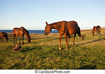 Horses eating grass on Easter Island