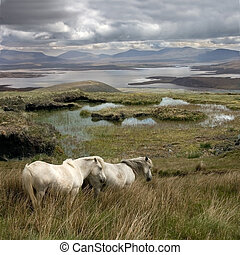 Wild horses on Achill Island on the West coast of Ireland
