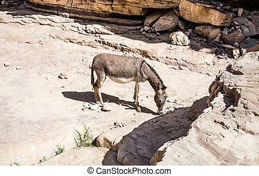 Free wild Donkey is grazing in desert