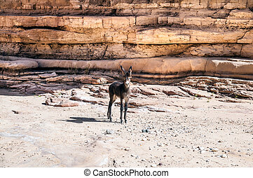 Free wild Donkey is grazing in desert