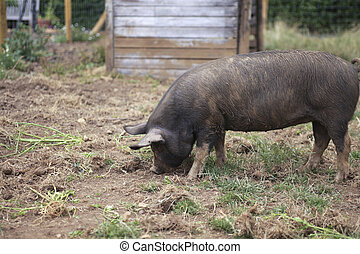 Free young dirty pig on farm
