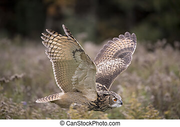 Freedom flight - Eurasian Eagle Owl in flight with wings up