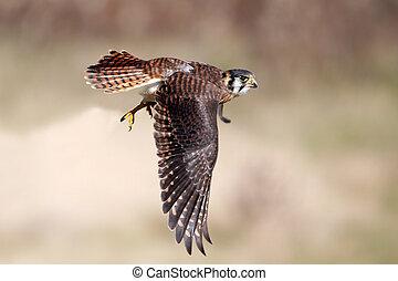 Freedom Of Flight - Closeup of an American Kestrel in...