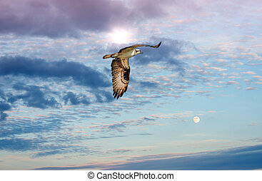 Osprey flying against a sun and moonlit sky approaching sunset