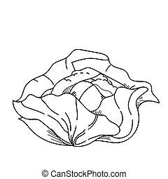 freehand, desenho, ilustração, vegetal, cabbage.