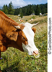Freely grazing domestic and healthy cow
