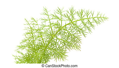 fennel leaf - freen lacy fennel leaf isolated on white ...