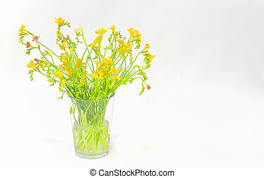 freesia flowers isolated