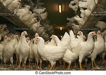 freewheel, brun, pose, poules, tard, dans, les, écurie