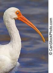 White Ibis, Eudocimus albus. Sanibel, Ding Darling, Florida.