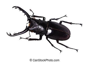 freigestellt, cervus, rehbock, lucanus, käfer, weißes