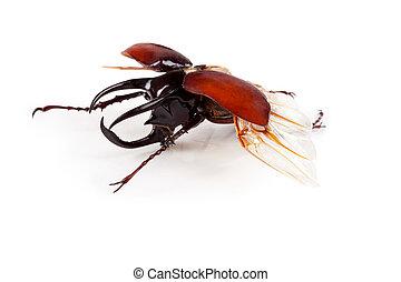 freigestellt, cervus, rehbock, lucanus, white., käfer