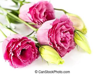 freigestellt, rosa blüten