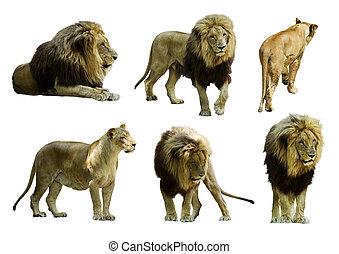 freigestellt, satz, weißes, aus, lions.