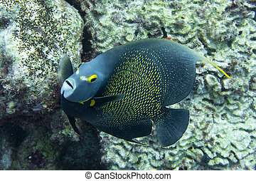 French angel fish close up
