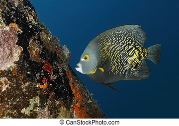 French Angelfish (Pomacanthus paru) swimming next to a coral-encrusted dock piling - Bonaire