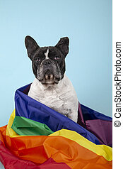 French bulldog dog with rainbow flag symbolizing gay rights. Isolated on blue background. LGBT concept. Vertical image
