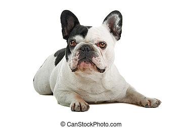 french bulldog (frenchie) isolated on a white background