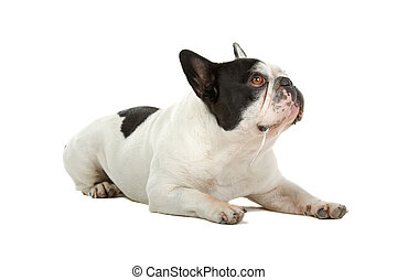 french bulldog (frenchie)