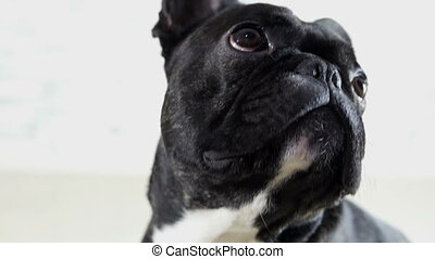 French bulldog looking