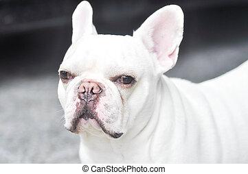 French bulldog on the floor