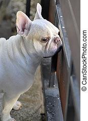 French bulldog or waiting dog