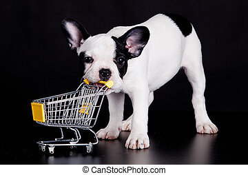 French Bulldog playing with a supermarket cart. Funny little dog.