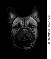 french bulldog portrait over a dark background in...