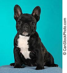 french bulldog puppy 3 months old sitting - brindle