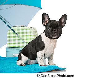 French bulldog puppy as a tourist