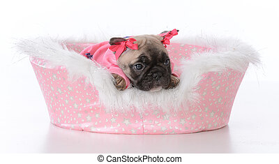 puppy in a dog bed - french bulldog puppy in a dog bed on...