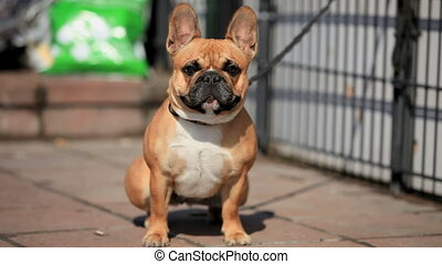 French Bulldog - Small French bulldog on a leash, close-up