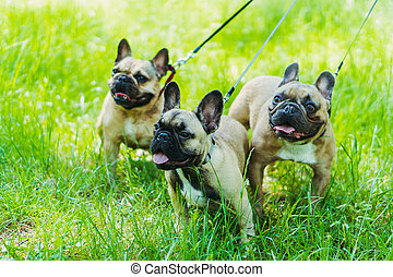 French Bulldog. Three dogs of French Bulldog breed walking through the grass