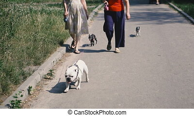 French Bulldog walks with other dogs