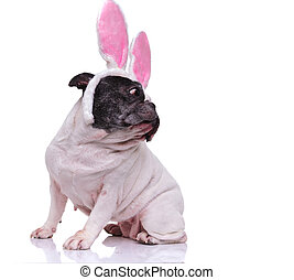 french bulldog wearing  bunny ears looks back over its shoulder