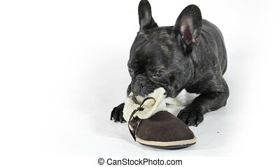 French bulldog with shoes on white background