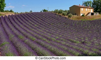 French Countryside Lavender Field