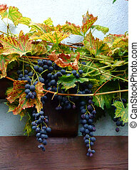french grapes on wall in Alsace