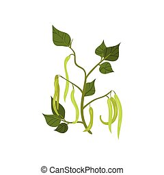 French green bean with long young pods and leaves. Leguminous plant. Agricultural crop. Flat vector design