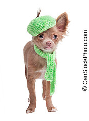 French looking Chihuahua puppy with cap and scarf