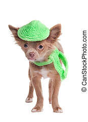 French looking chihuhua puppy with cap and scarf