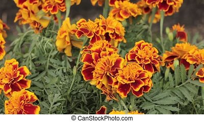 French Marigold swaying in the wind, close up. Around the green grass