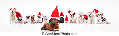 french mastiff leading a large group of santa claus dogs