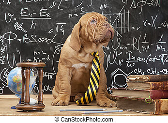 French Mastiff puppy in front of blackboard