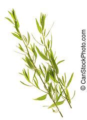 French Tarragon - Artemisia dracunculus var sativa, fresh ...