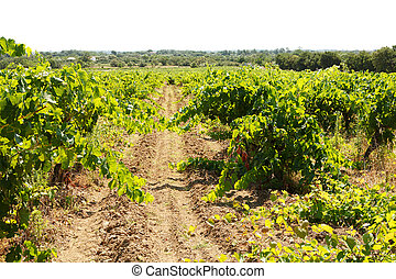 French vineyard